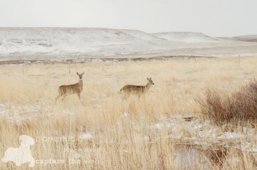 White Tailed Deer, Nebraska, 2013