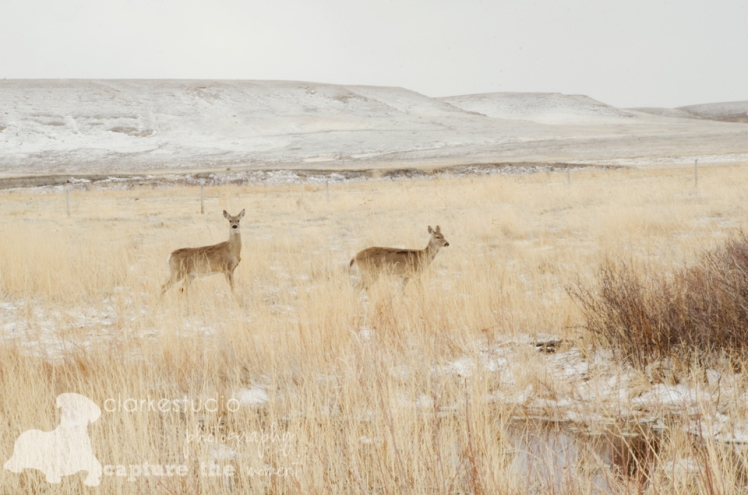 White Tailed Deer, Nebraska, 2013