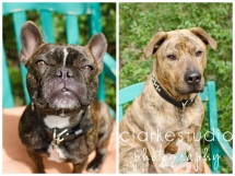Mannie the French Bull Dog + Troy the Pit Mix, 2013