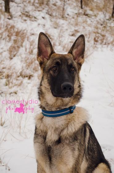 2013, Maximus the German Shepherd