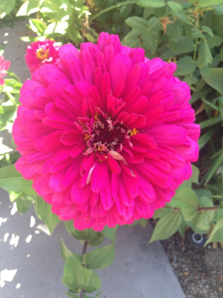 Zinnia in San Jose