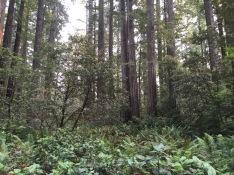 Redwoods; Lady Bird Johnson Grove