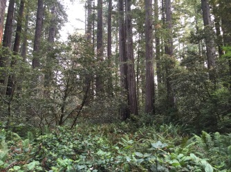 Redwoods; Lady Bird Johnson Grove