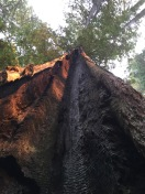 Burnt out Redwood